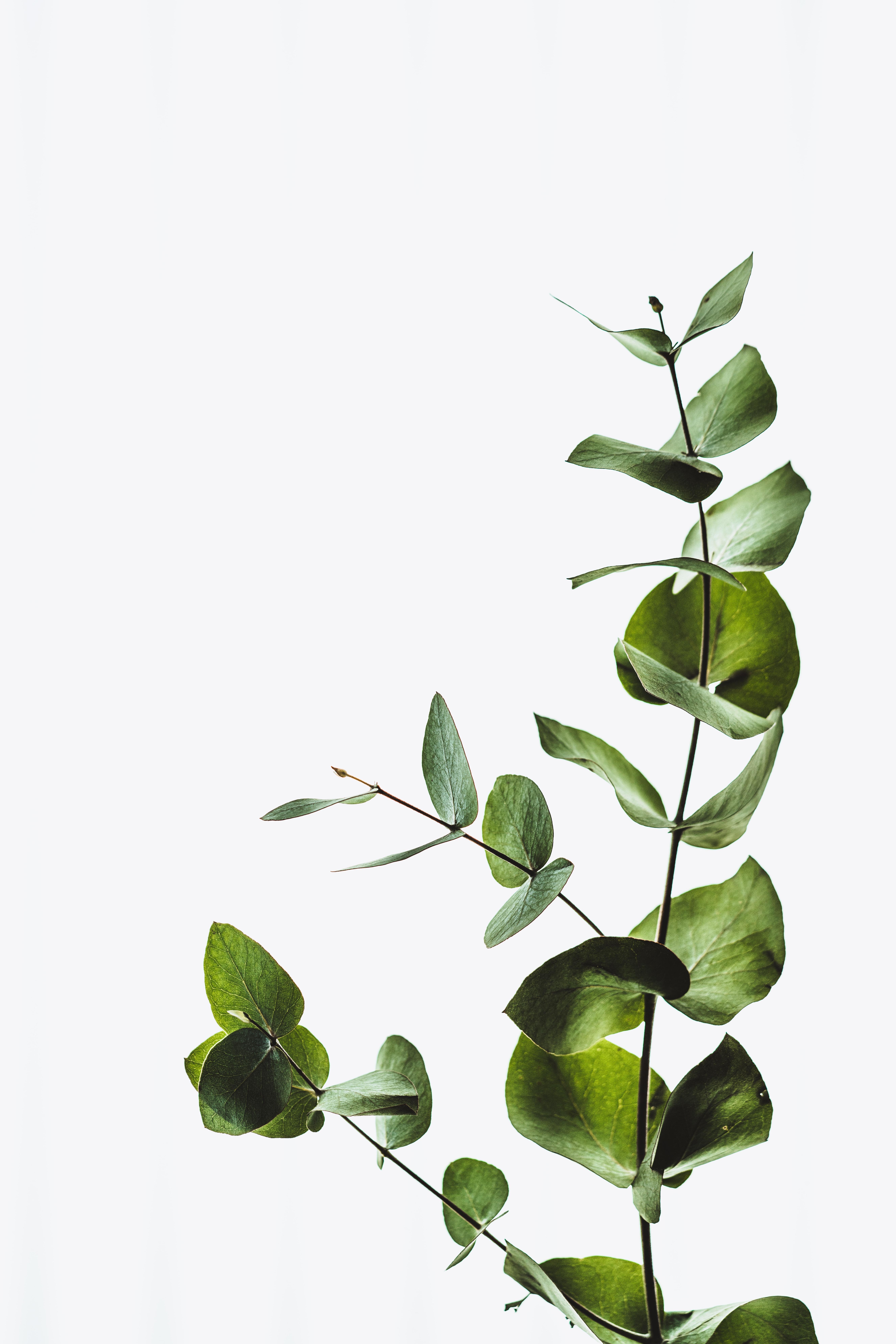 eucalyptus plant for the bathroom