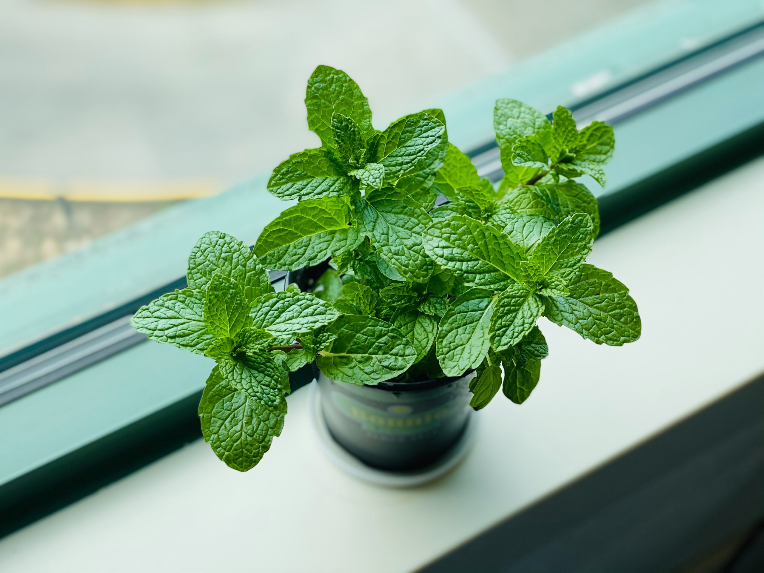 mint plant for the house